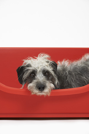 lurcher: Studio Shot Of Pet Lurcher Lying In Red Dog Bed Stock Photo