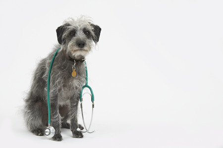 lurcher: Studio Shot Of Lurcher Dog Wearing Stethoscope
