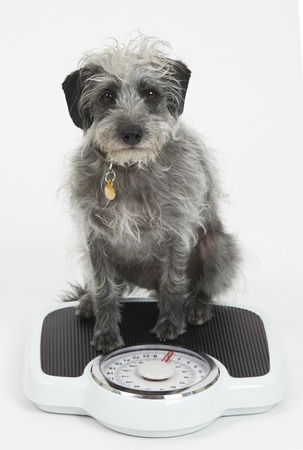 unhealthy diet: Studio Shot Of Lurcher Dog Sitting On Bathroom Scales Stock Photo