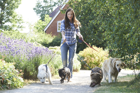 person walking: Professional Dog Walker Exercising Dogs In Park