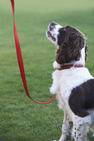 lead sled: Obedient Spaniel Dog On Leash Outdoors