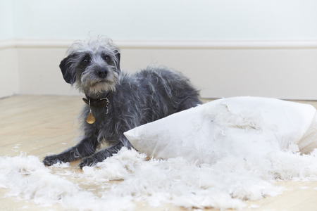 lurcher: Badly Behaved Dog Ripping Up Cushion At Home