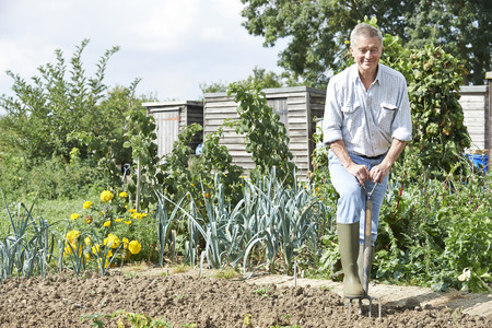 allotment: Senior Man Digging Vegetable Patch On Allotment