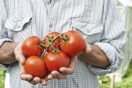 grown up: Close Up Of Man Holding Home Grown Tomatoes