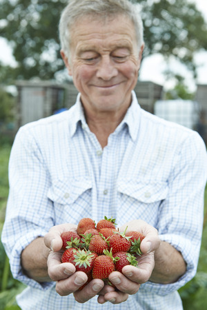 allotment: Senior Man On Allotment Holding Freshly Picked Strawberries Stock Photo