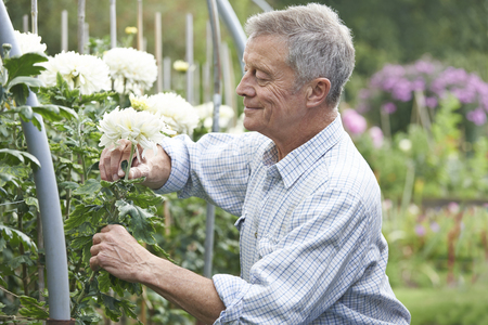 flowers garden: Senior Man Cultivating Flowers In Garden Stock Photo