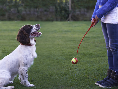 9 ball: Girl Throwing Ball For Pet Spaniel Dog In Garden Stock Photo