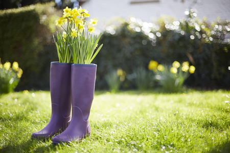 galoshes: Daffodils Growing Out Of Purple Wellington Boots