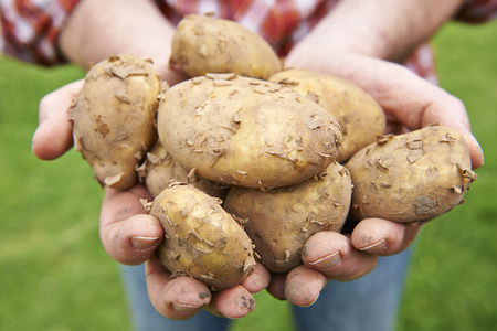 home grown: Man Holding Home Grown Jersey Royal Potatoes Stock Photo