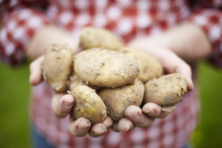 the royal: Man Holding Home Grown Jersey Royal Potatoes Stock Photo