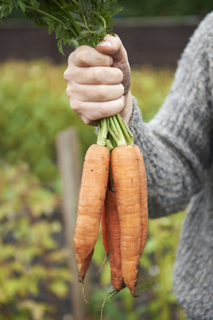 home grown: Man Holding Bunch Of Home Grown Carrots