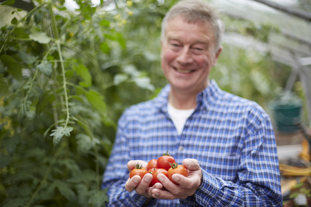 home grown: Senior Man In Greenhouse With Home Grown Tomatoes