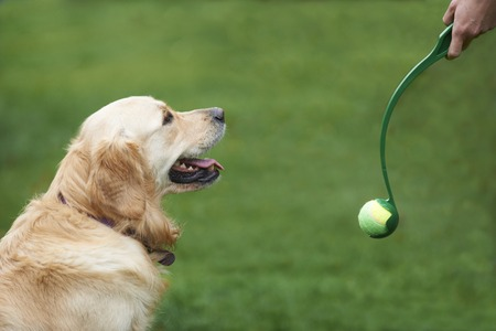 golden ball: Owner Exercising Golden Retriever By Throwing Ball Stock Photo