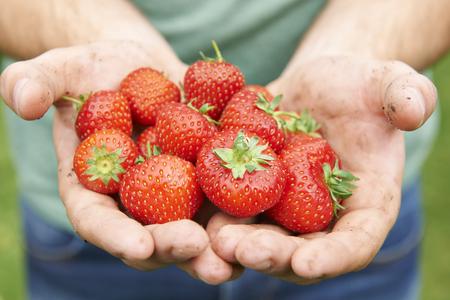 summer fruits: Man Holding Freshly Picked Strawberries