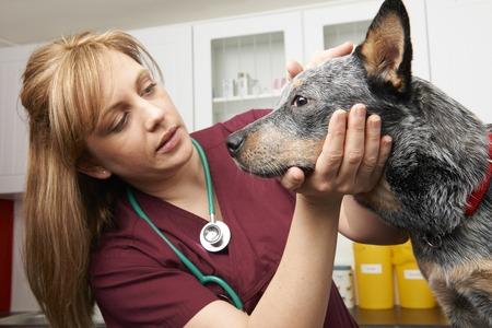 Vrouwelijke Dierenarts die hond onderzoekt in Chirurgie