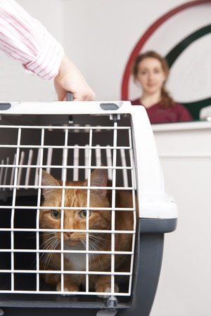 cat carrier: Woman Taking Cat To Vet In Carrier Stock Photo
