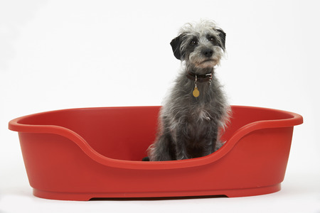 lurcher: Studio Shot Of Pet Lurcher Sitting In Red Dog Bed Stock Photo