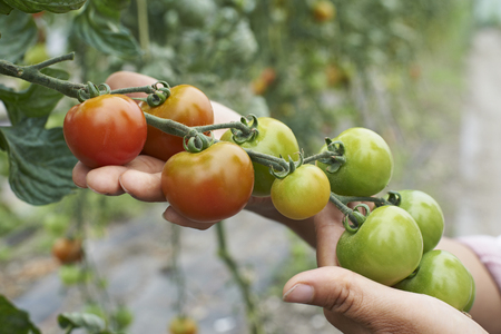 produces: Close Up Of Female Agricultural Worker Checking Tomato Plants In Greenhouse Stock Photo