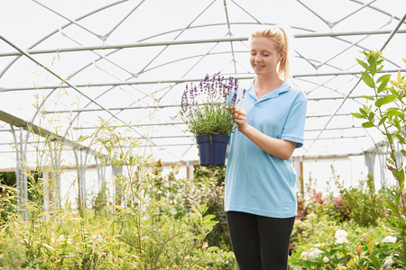 Female Employee At Garden Center Holding Lavender Plant In Greenhouse Banque d'images