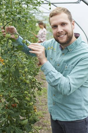 Farmer Checking Tomato Plants In Greenhouse Stock fotó