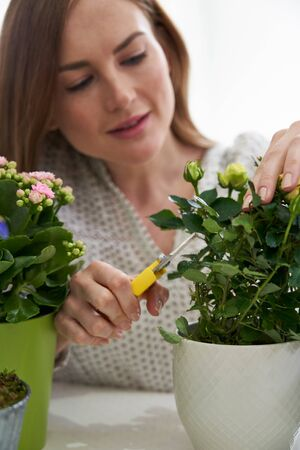 Young Woman Pruning Rose Houseplant With Secateurs At Home Stock Photo