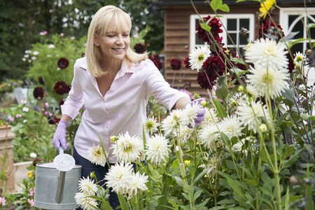 Mature Woman Watering Dahlia Flowers In Garden At Home Фото со стока
