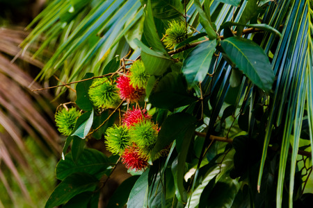 phuket food: Rambutan tree with fruits Stock Photo