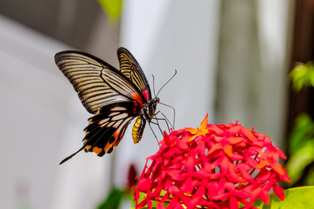 lows: Great Yellow Mormon Butterfly feeding from red flowers, soft focus on butterfly