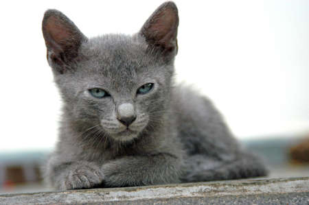 Cute Kitten with Gray Fur and Blue Eyes Sitting and Looking (Staring) to the Camera (Pet Puppy Cat)
