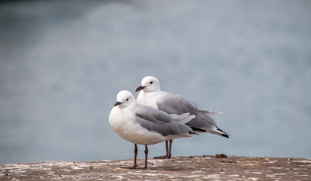 Two Hartlaubs seagulls standing by the water