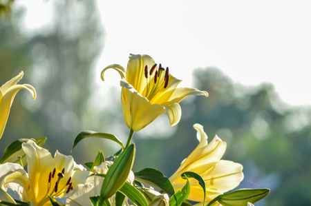 fire flower: Lily, Yellow lily