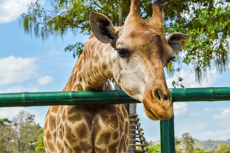 Chiang Rai, Thailand - March 12, 2017 : Singha Park Chiang Rai. Agro-tourism destination focusing on the development of sustainable tourism. Giraffe