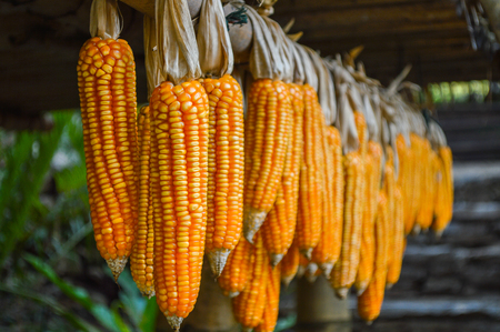 rafters: Drying corn hanging outside house Stock Photo