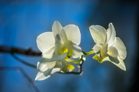 The White Orchid are blooming with blue sky background Stock Photo