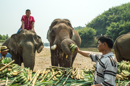 Chiang Rai, Thailand – March 13, 2018 : At Krariang Ruammit Housing Elephant Camp, Elephants in Thailand's Chiang Rai province were treated to a fruit buffet to mark National Elephant Day. Editorial