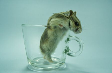 Hamster peeking out of a transparent coffee cup. Stockfoto