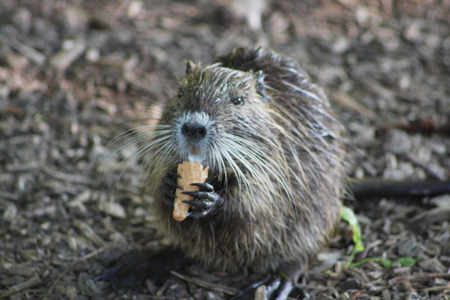 nibbling: Nutria nibbling on ice cream cone Stock Photo