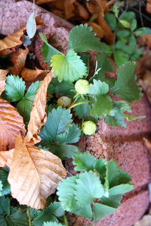 strawberry in autumn Stock Photo - 34188347