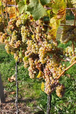 elites: grape