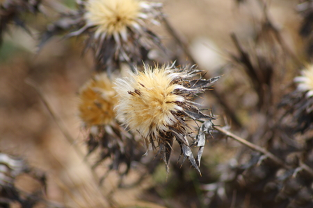 thistle: Thistle in winter