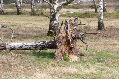Conversely Incurred, uprooted trees birch after storm, hurricane