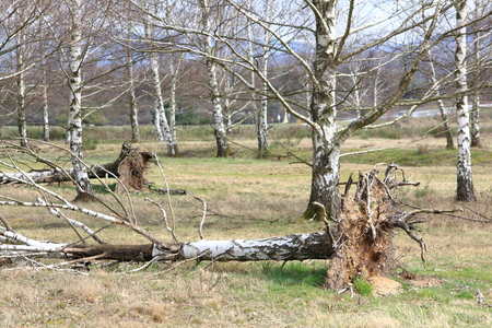 incurred: Conversely Incurred, uprooted trees birch after storm, hurricane