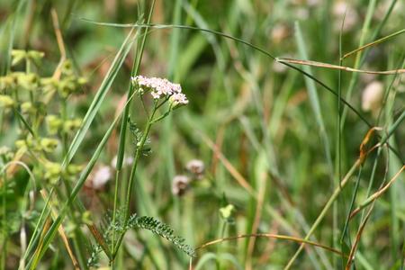 yarrow: yarrow on meadow