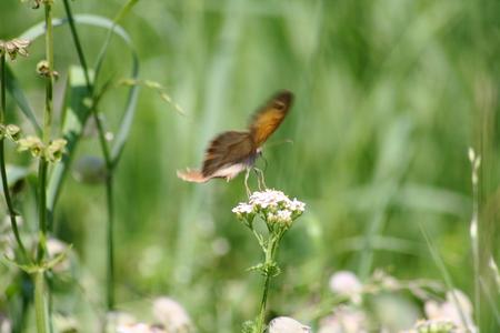 yarrow: butterfly on yarrow