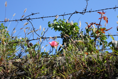fencing wire: rose behind barbed wire