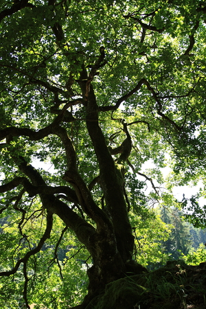 rooted: old, gnared oak tree in sunlight
