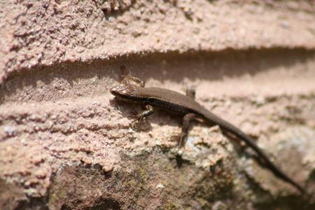 squamata: Wall lizard