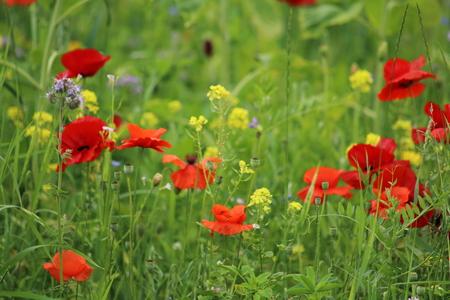 intoxicating: poppy on a meadow Stock Photo