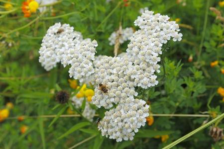 yarrow: meadow Yarrow with a bee
