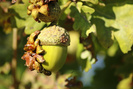 gall: acorn oak with anomaly gall Stock Photo